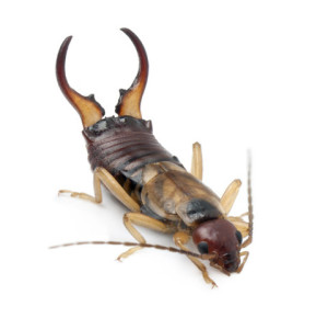 earwig control in indianapolis