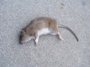 rodent control methods